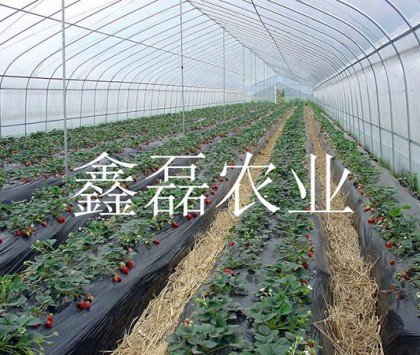 草莓采摘大棚